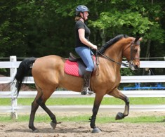 Emily Thorpe's new morgan gelding