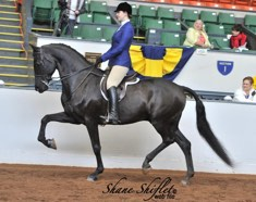 Morgan Gelding sold to Lori Sargeant