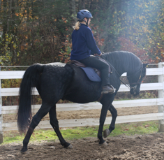 Mecurio family new horse - morgan gelding