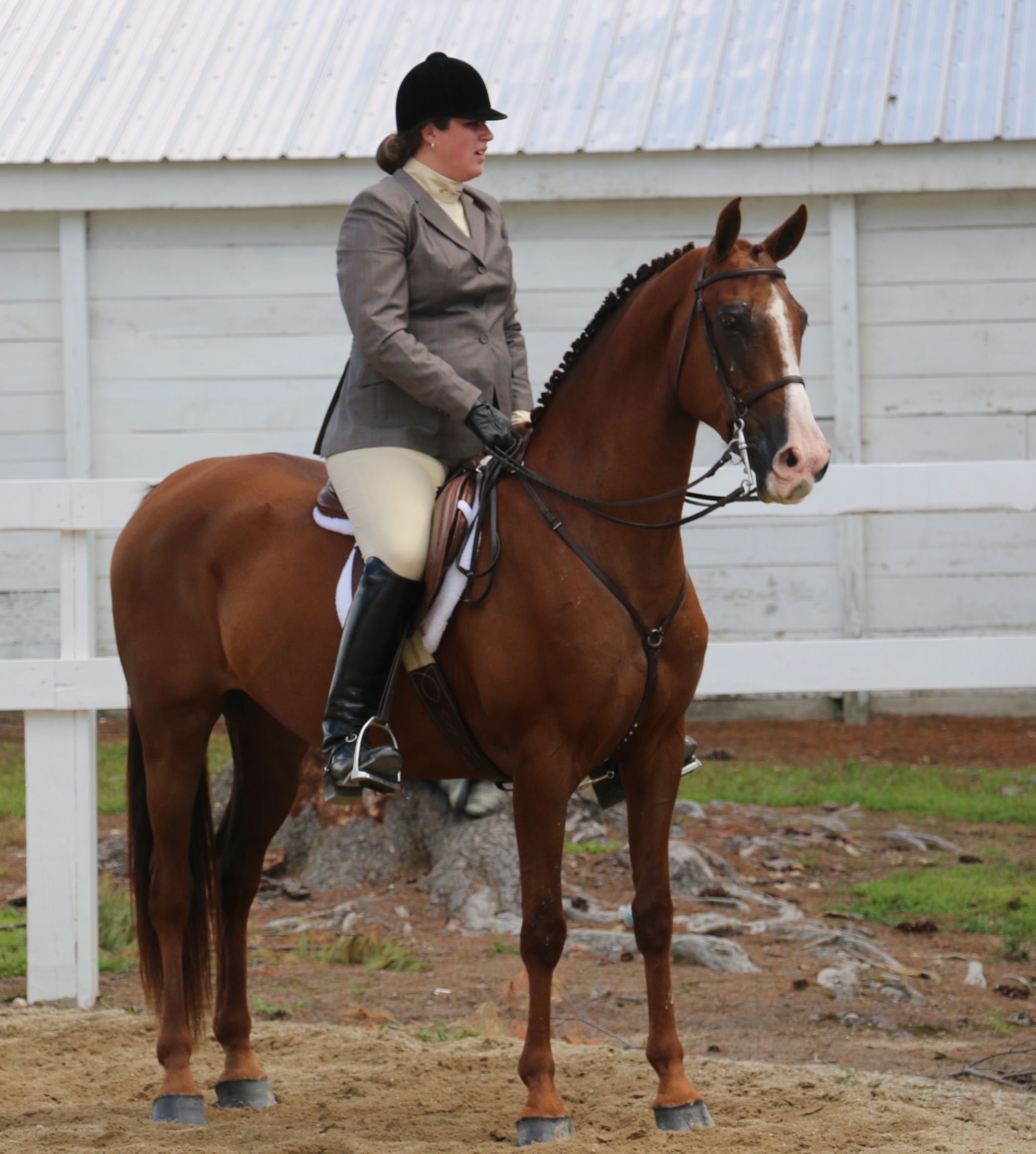 Recently sold morgan horse