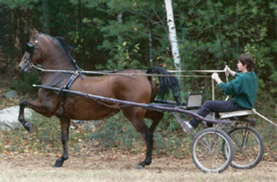 training morgan horse to drive