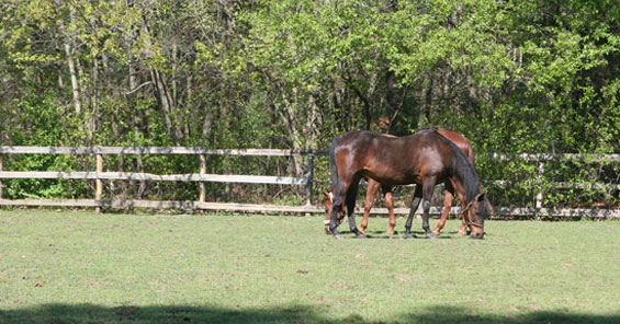 morgan horses grazing in a grass paddock