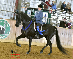 Morgan gelding for sale - showing Hunt Seat